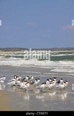Birds on the Southern Beach; Cumberland Island National Seashore; Georgia; USA - Stock Photo