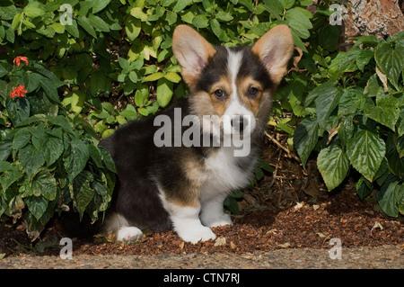 Welsh corgi puppy sitting by greenery