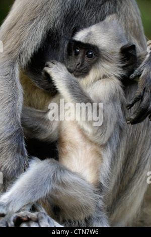 Tufted gray (Hanuman) langur baby suckling, Katagarama, Sri Lanka - Stock Photo