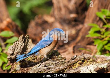 Eastern Bluebird, Sialia sialis, a medium-sized thrush, in summer - Stock Photo