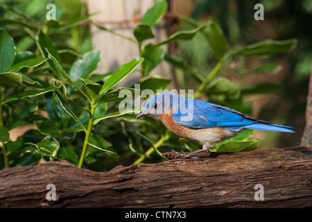 Eastern Bluebird, Sialia sialis, a medium-sized thrush, in summer. - Stock Photo