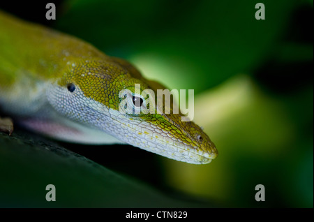 Green Anole lizard (Anolis carolinensis) closeup - Stock Photo