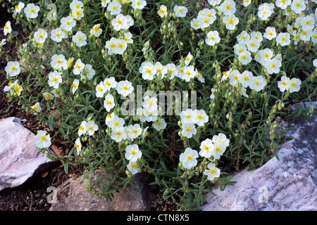 White Rock rose flowers Helianthemum apenninum