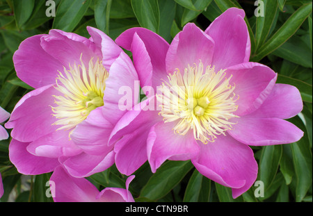 Two pink peonies flowers close up Peonia - Stock Photo