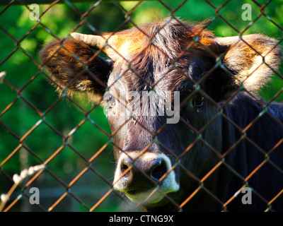 Young cow staring out from behind a fence - Stock Photo