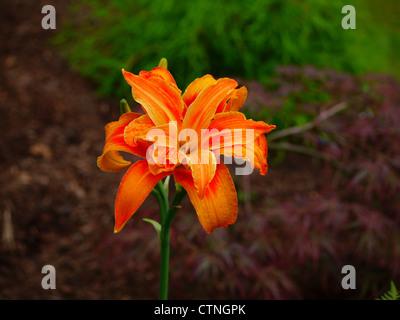 Orange daylily in bloom - Stock Photo