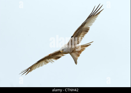 A leucistic red kite (Milvus milvus) in flight at Gigrin Farm, Rhayader, mid Wales. January 2011. - Stock Photo