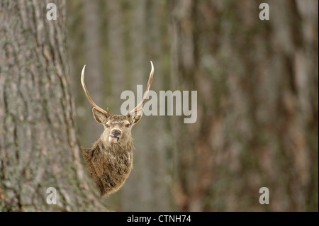 Red deer (Cervus elephas) stag in Caledonian pine forest. Speyside, Scotland. February. - Stock Photo