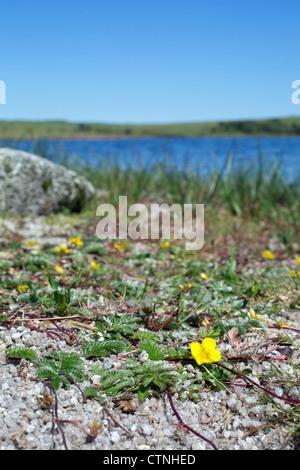 Colliford Lake; Cornwall; UK; reservoir; Silverweed; Potentilla anserina; - Stock Photo