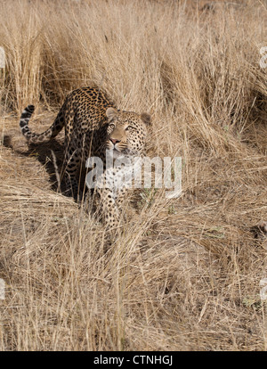 One leopard in Namibia - Stock Photo