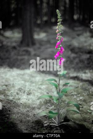 Single foxglove in woodland. - Stock Photo