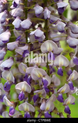 Wisteria flowers - Stock Photo