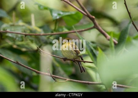 Yellowish Flycatcher (Empidonax flavescens) Bajo Mono trail, Chiriqui Highlands, Panama. - Stock Photo