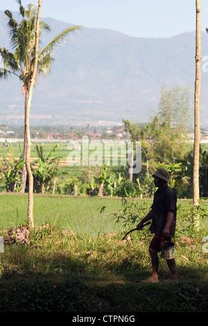 local field worker walking through rice fields java indonesia - Stock Photo