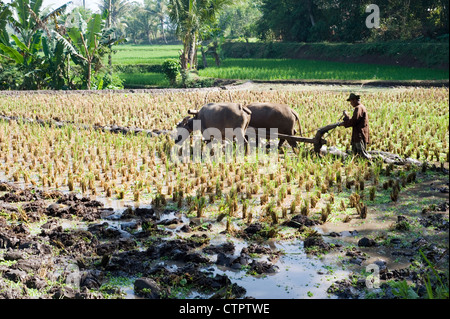 local man with his team of water buffalo at work in a rice field java indonesia - Stock Photo