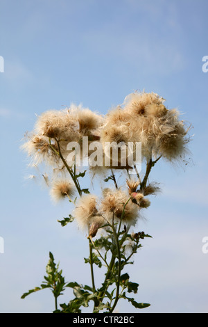 Flowering thistle with fruits and pappus against a blue sky in late summer, Denmark. - Stock Photo