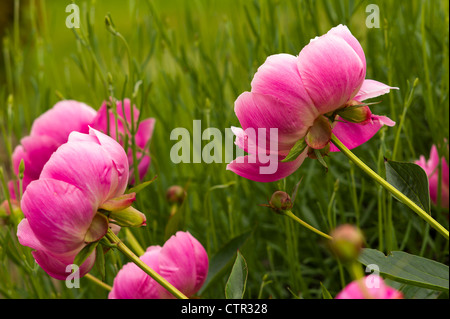Pink peony flowers 'Bowl of Beauty' AGM