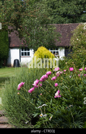 Peonies 'Bowl of Beauty' in an English cottage style garden