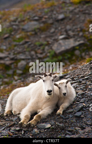 A mountain goat nanny her kid are resting on hillside near Harding Icefield Trail Exit Glacier in Kenai Fjords National - Stock Photo