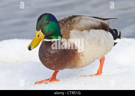 Mallard drake walking on snow in early Spring at Westchester Lagoon, Anchorage, Southcentral Alaska - Stock Photo