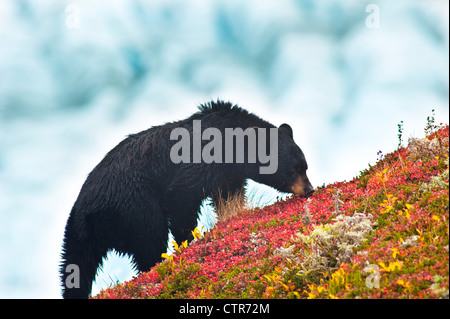 Black Bear is feeding on berries on a hillnear the Harding Icefield trail at Exit Glacier in Kenai Fjords National - Stock Photo