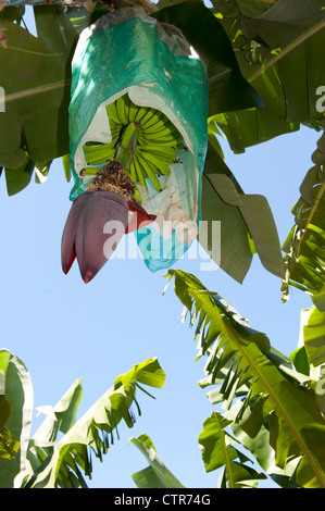 Banana flower with protective plastic bag covering the fruit, seen at a banana farm bear Mission Beach, Queensland - Stock Photo