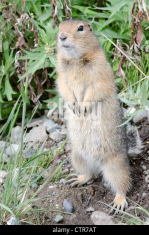 Arctic Ground Squirrel standing in Igloo Canyon, Denali National Park & Preserve, Interior Alaska, Summer - Stock Photo