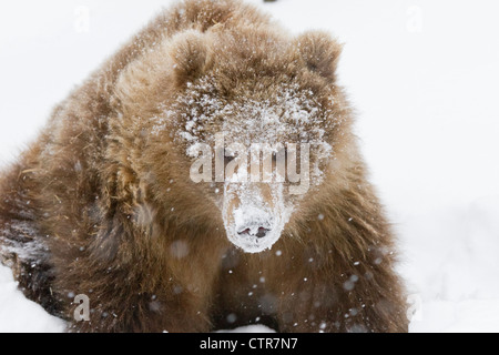 CAPTIVE: Kodiak Brown bear female cub with its face covered in fresh white snow, Alaska Wildlife Conservation Center, - Stock Photo
