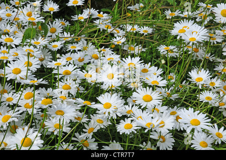 Ox-eye daisies Leucanthemum vulgare - Stock Photo