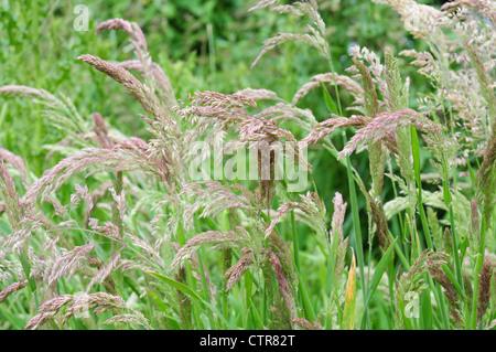 Close up of grass Yorkshire Fog Holcus lanatus - Stock Photo