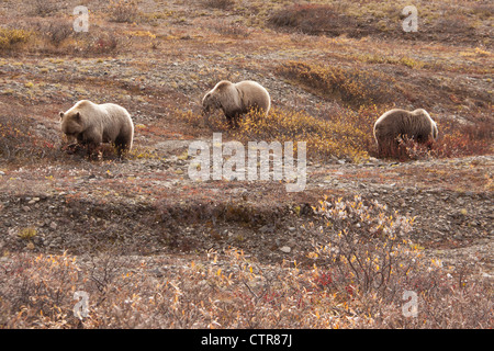 Sow and two three year old cubs feeding on berries near Toklat River, Denali National Park & Preserve, Interior - Stock Photo