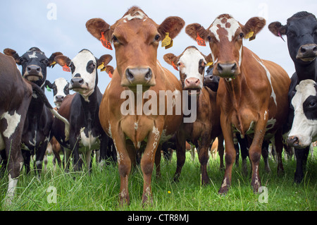 Cows in Field Staring at Camera - Stock Photo