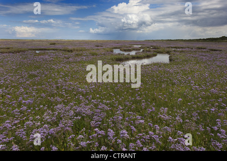 Sea Lavender Limonium vulgare Wareham Marshes Norfolk UK July - Stock Photo