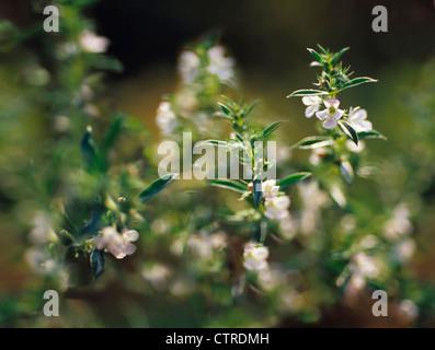 Satureja hortensis, Savory, Summer savory, White. - Stock Photo