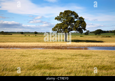 Lone Tree and Floodwater in a Barley Field near Knaresborough North Yorkshire England - Stock Photo