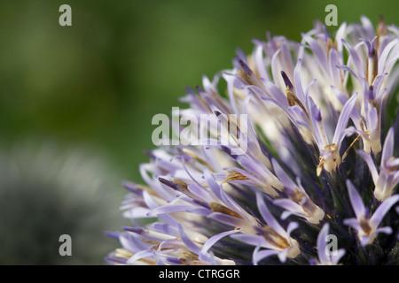 Echinops cultivar, Globe thistle, Blue. - Stock Photo