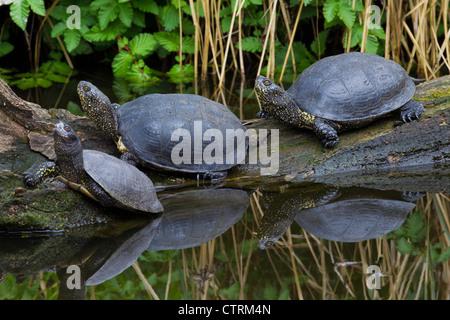 European pond turtles (Emys orbicularis) resting on fallen tree trunk along lake shore, Germany - Stock Photo