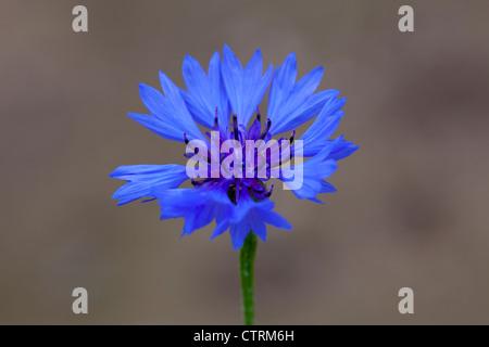 Cornflower (Centaurea cyanus) in flower - Stock Photo