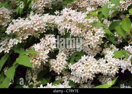 Kolkwitzia amabilis blossom - Stock Photo