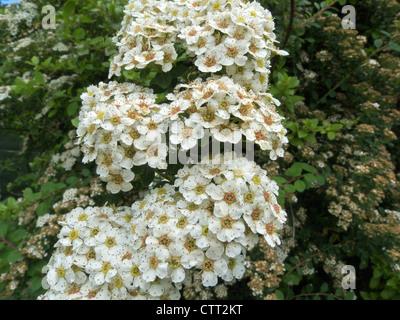 Spiraea x arguta 'Bridal Wreath' - Stock Photo