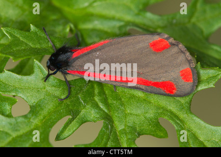 Cinnabar moth (Tyria jacobaeae) resting on Common Ragwort leaf - Stock Photo
