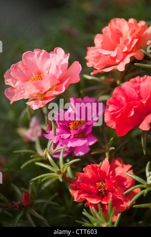 Portulaca grandiflora cultivar, Moss rose, Pink. - Stock Photo
