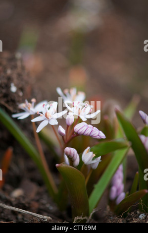 Scilla bifolia 'Rosea', Squill, Rosy squill, White. - Stock Photo