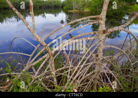 Naples Everglades Florida Big Cypress National Preserve Big Cypress Swamp Welcome Center exposed mangrove roots - Stock Photo
