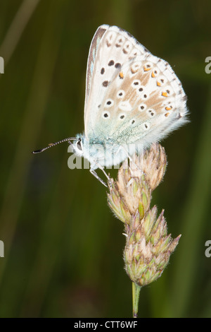 male Chalkhill Blue (Polyommatus coridon) butterfly resting on a grass seed head - Stock Photo