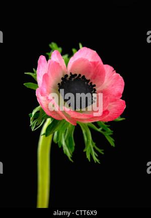 Anemone coronaria, Anemone, Pink, Black. - Stock Photo