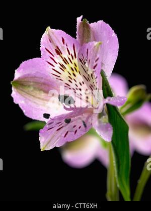 Alstroemeria cultivar, Alstroemeria, Peruvian lily, Purple, Black. - Stock Photo