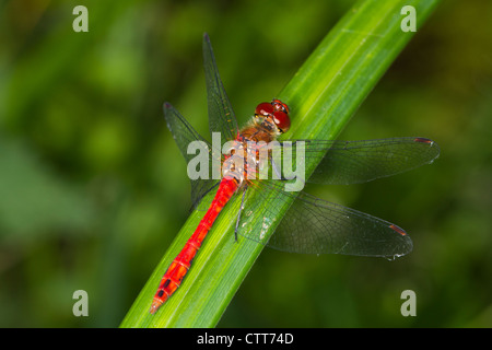 male Ruddy Darter (Sympetrum sanguineum) perched on a reed - Stock Photo