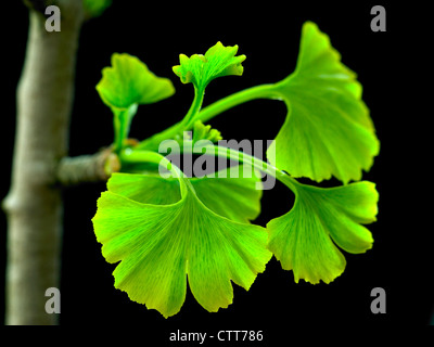 Gingko biloba, Ginkgo, Maidenhair tree, Green leaves emerging on branch against a black background. - Stock Photo