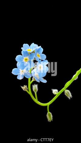 Myosotis arvensis, Forget-me-not, Blue, Black. - Stock Photo